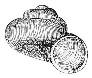 Valvata sincera - Apertural view of a shell of Valvata sincera
