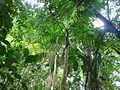 Vegetación de la Reserva de la Biosfera La Amistad Panama (RBLAP) 15.JPG