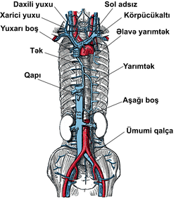 Venous system.png