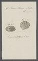 Venus thiara - - Print - Iconographia Zoologica - Special Collections University of Amsterdam - UBAINV0274 077 12 0052.tif