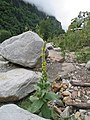 Verbascum thapsus - great mullein on way from Govindghat to Gangria at Valley of Flowers National Park - during LGFC - VOF 2019 (1).jpg
