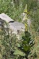 Verbascum thapsus carriere-saint-maximin 60 01072008 03.jpg