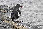 Vernadsky Station Winter Island Antarctica Gentoo Penguin (33461204498).jpg