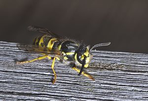 Vespula germanica - German wasp rasping wood for building its nest
