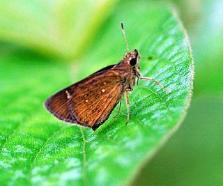 <i>Arnetta</i> genus of insects