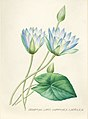 Vintage Flower illustration by Pierre-Joseph Redouté, digitally enhanced by rawpixel 40.jpg