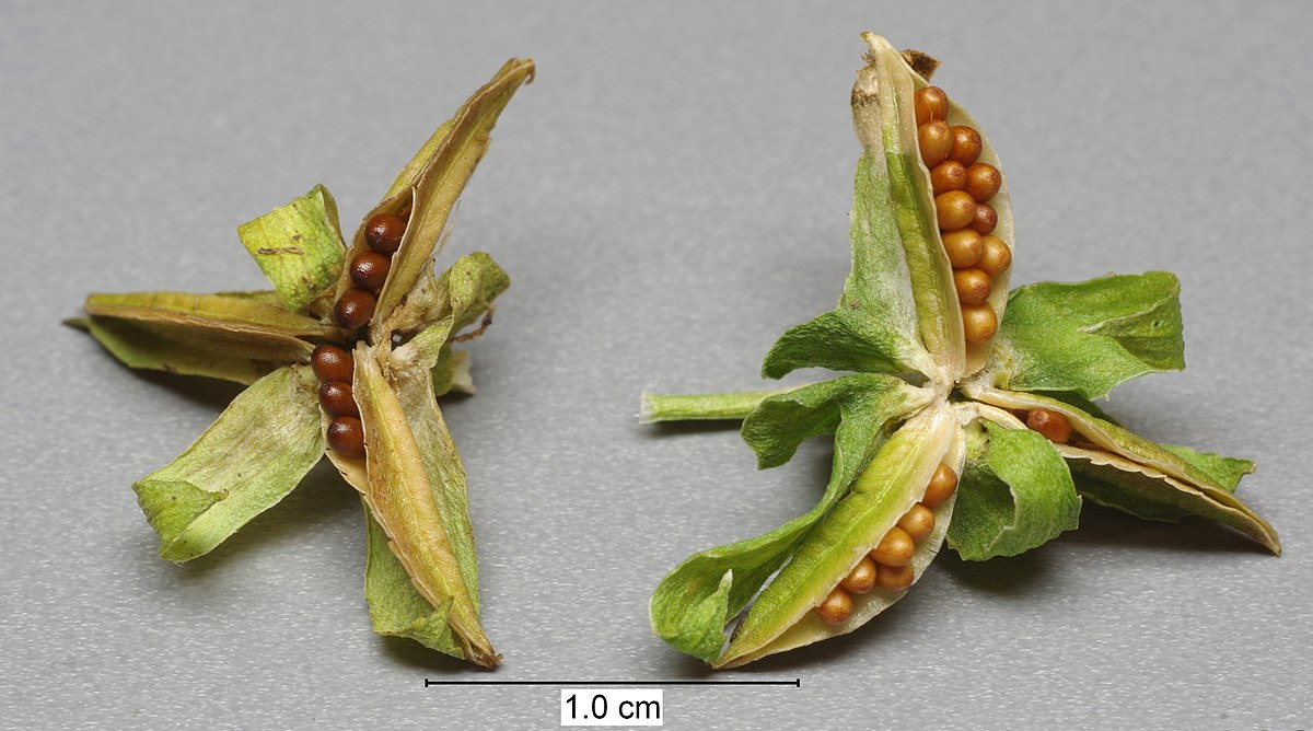 Viola × wittrockiana BW 2016-07-25 17-18-26.jpg