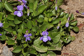 Description de l'image Viola adunca 1123.JPG.