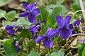 Violet (Viola sp.) - Kitchener, Ontario 02.jpg