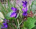 Violets at Redford - geograph.org.uk - 1200714.jpg