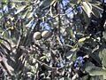 Voacanga thouarsii-fruit-2.jpg