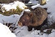 Common Wombat in the snow