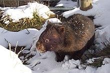 Vombatus ursinus (Wombat in snow).jpg