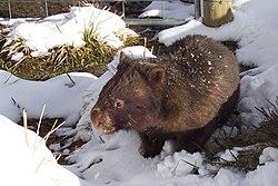 [عکس: 250px-Vombatus_ursinus_%28Wombat_in_snow%29.jpg]