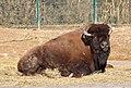 Waldbison Bison bison athabascae Tierpark Hellabrunn-16.jpg
