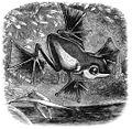 Wallace frog.jpg