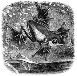 Rhacophorus nigropalmatus, illustration du livreThe Malay Archipelago, de Wallace
