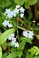 Water Forget-me-not (Myosotis scorpioides), Clunie - geograph.org.uk - 1505039.jpg