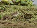 Water Pipit (Anthus spinoletta) (32911475236).jpg