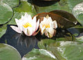 Water lilies - geograph.org.uk - 1416968.jpg