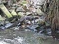 Water monitor (7567743892).jpg