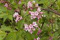 Weigela hortensis 03.jpg