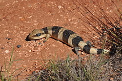 Western Blue-tongued Lizard (Tiliqua occipitalis).jpg