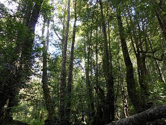 Phyllocladus aspleniifolius - Typical wet sclerophyll forest in Mt Field National Park, Tasmania, where Phyllocladus aspleniifolius is found.