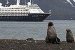 Whalers Bay Deception Island Antarctica Fur Seal Silversea Silver Cloud 2 (40372001353).jpg