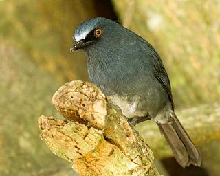 White-bellied blue robin