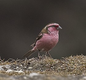 White-browed Rosefinch - Eaglenest - India FJ0A7974 (33443605794).jpg