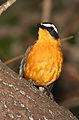 White-browed robin-chat, Cossypha heuglini, at Kruger National Park, South Africa (19450584760).jpg