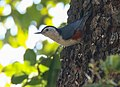 White-cheeked Nuthatch (Sitta leucopsis) (40814158475) (cropped).jpg
