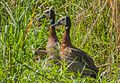 White-faced Whistling Duck ...Gambia (32374411813).jpg