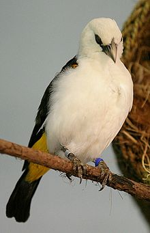 White-headed Buffalo-weaver.jpg