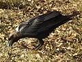 White-necked Raven Corvus albicollis Tanzania 3928 cropped Nevit.jpg