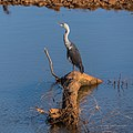 White-necked heron Burke River Boulia Queensland P1030492.jpg