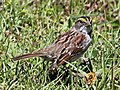 White-throated Sparrow RWD3.jpg