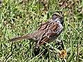White-throated Sparrow RWD3.jpg