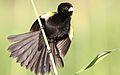 White-winged widowbird, Euplectes albonotatus, at Zaagkuildrift Road near Kgomo Kgomo, Limpopo, South Africa (31463713401).jpg