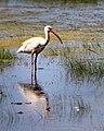 White Ibis Brazoria Nwr Texas (30303177).jpeg