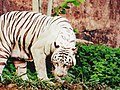 White Tiger in Vizag.jpg