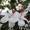 White hibiscus maui 1.JPG
