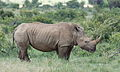 White rhinoceros or square-lipped rhinoceros, Ceratotherium simum. Note that in some of these photos there are a female with a calf, and a male that seems to have been challenging the calf. (17337973662).jpg