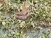 White tailed Lapwing I IMG 9928.jpg