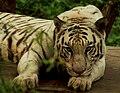 White tiger dozing off.jpg