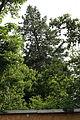 Wiener Naturdenkmal 766 Douglasie (2).JPG