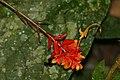Wild Ginger (Globba atrosanguinea) flower (22868971473).jpg