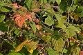 Wild Raspberry (Rubus idaeus) - Oslo, Norway 2020-08-03.jpg