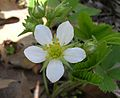 Wild Strawberry, Virginia Strawberry (Fragaria virginiana) - Flickr - Jay Sturner.jpg